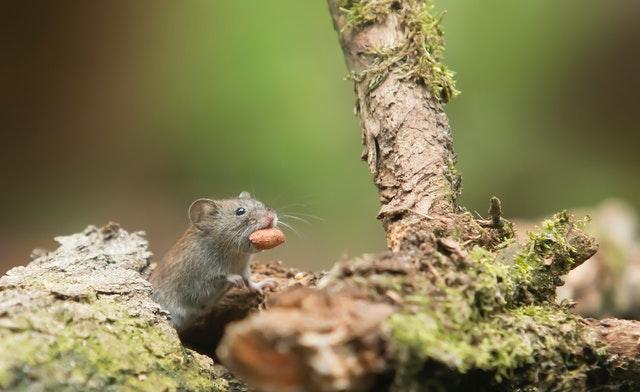 Enkele tips tegen muizen in je tuin